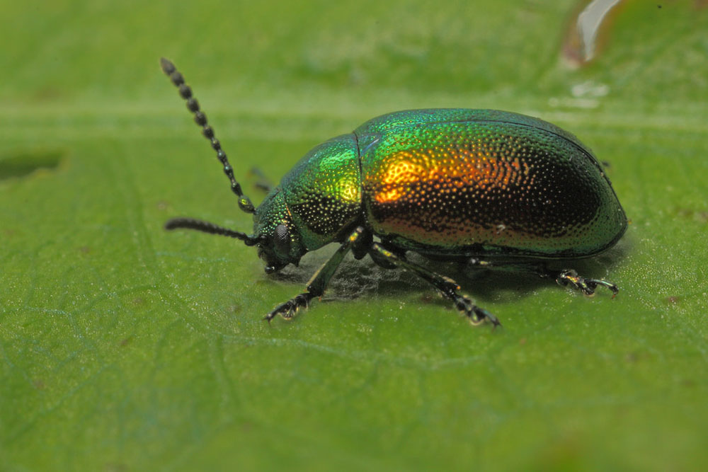 Leaf Beetle Wildlifemacro